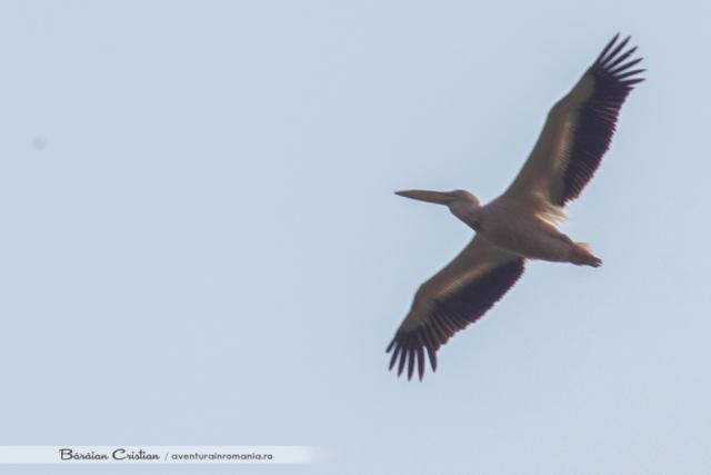 Pelican in zbor