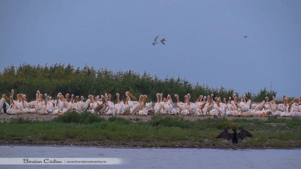 Pelicani Sulina