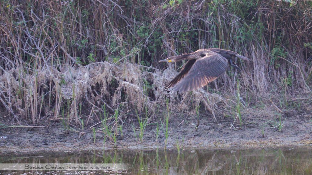 Cormoran delta