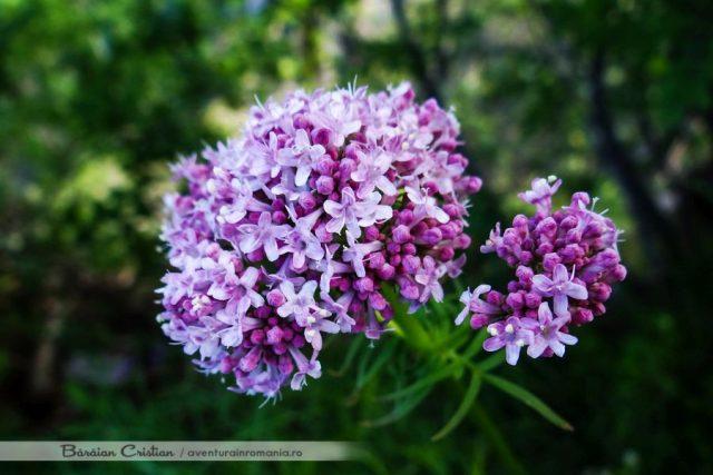 Flora Domogledul Mic