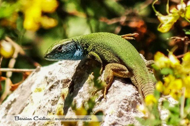 Lacerta_viridis