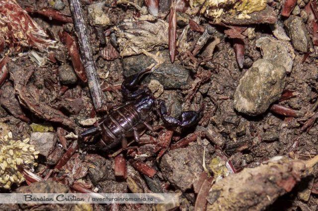 Scorpionul carpatin