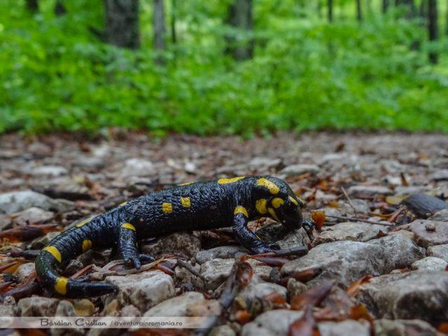 Salamandra comuna