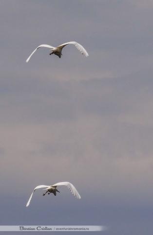 Egreta mica