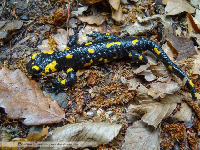 Salamandra de foc