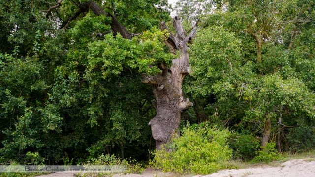 Stejar Padurea Letea