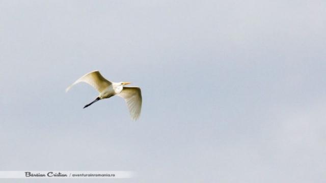 Egreta mare