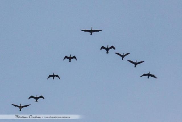 formatie de zbor cormorani