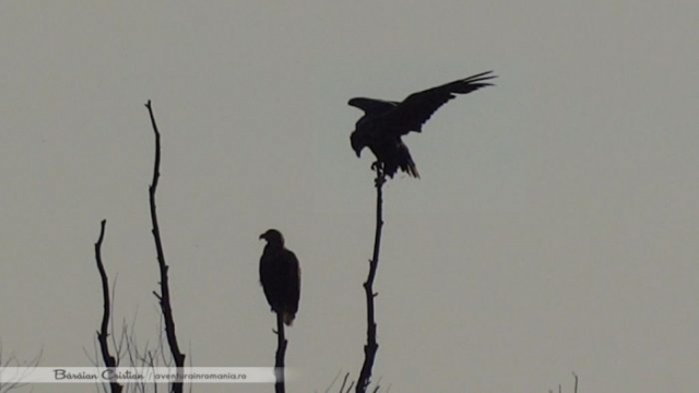 vultur codalb