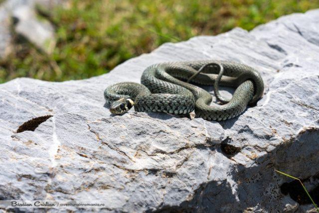 Șarpe de casă mascul