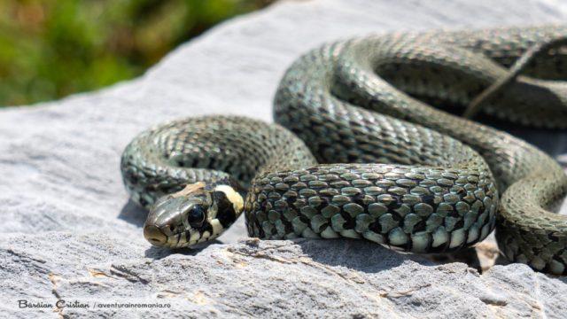 Șarpele de casă_mascul
