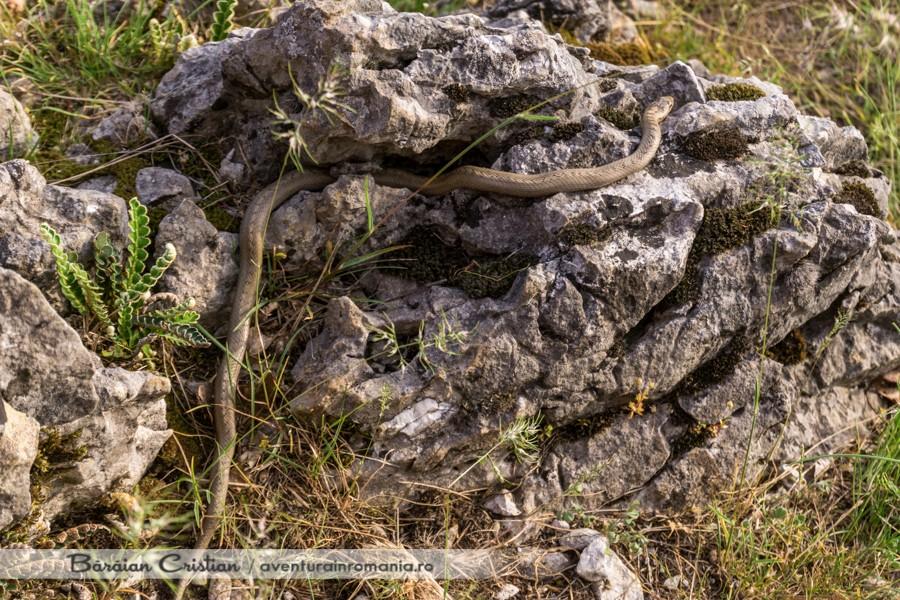 Șarpele de alun