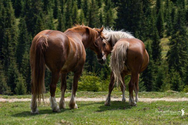 Caii din Mărișel