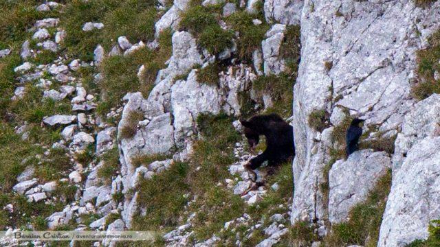 Urs in Piatra Craiului