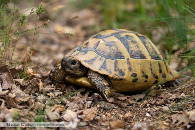 Țestoasa bănățeană