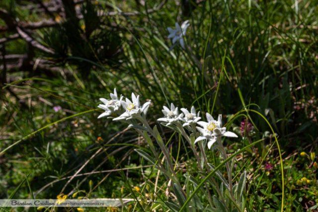 Flori de colt Piatra_Iorgovanului